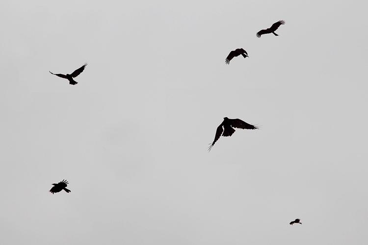 crow001.jpg