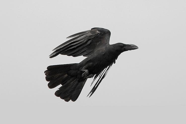 crow002.jpg