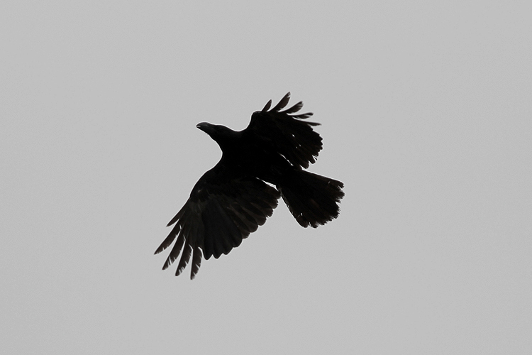 crow003.jpg