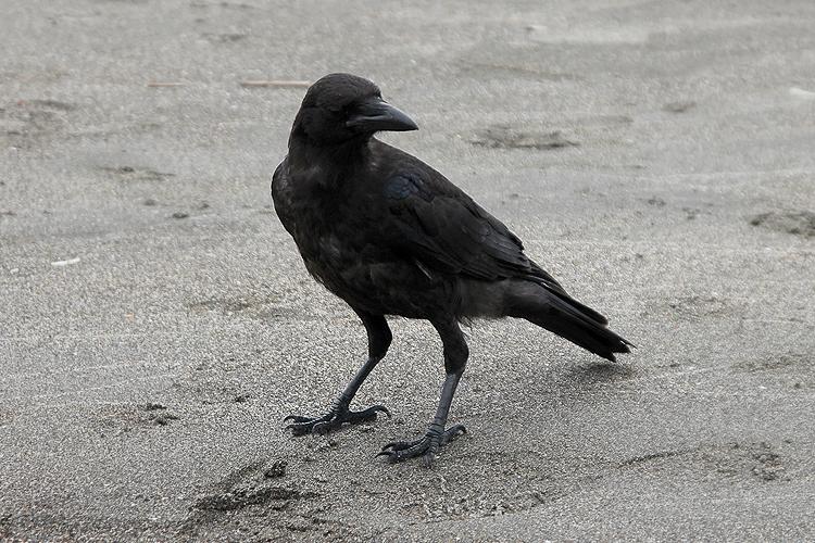 crow004.jpg